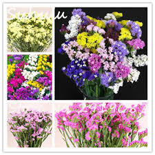 statice flowers 100 pcs statice seeds limonium sinuatum perennial colorful