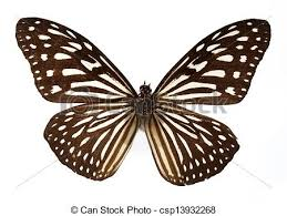 white tiger butterfly isolated white stock image search