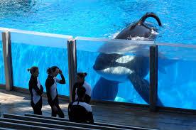 tilikum seaworld u0027s killer orca is dying