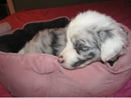 australian shepherd virginia australian shepherd puppies for sale