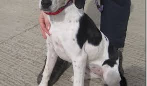 beagle x australian shepherd miri u2013 5 month old female beagle cross pointer dog for adoption
