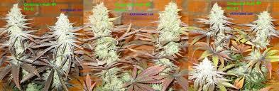 chambre de sechage cannabis culture de graines de cannabis régulières en intérieur du