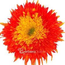 teddy sunflowers bulk flowers teddy sunflowers tinted