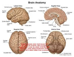 A Picture Of The Human Anatomy Human Anatomy Diagram Complete Anatomy Of The Human Brain Anatomy