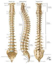 Human Anatomy Skeleton Diagram Human Anatomy Skeleton Diagram 05 4 Overall Spine Human Anatomy