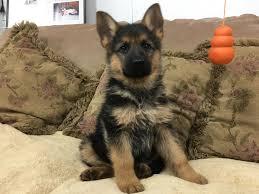 german shepherd puppies for sale lancaster puppies