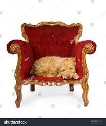 spanish waterdog sleeping red velvet couch stock photo 52637524