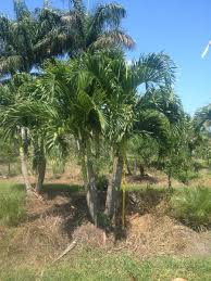 adonidia palm adonidia merrillii palmco wholesale palms florida