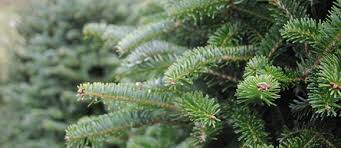 fresh cut fraser and balsam fir trees finer lawn and
