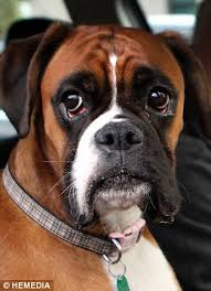 boxer dog meme dog sounds car horn for 15 minutes while waiting for owner daily