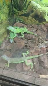 imágenes de iguanas verdes mil anuncios com iguanas verdes pequeña s