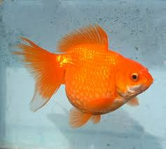 1278 best gold fish images on goldfish fish fish and
