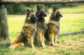 belgian shepherd size belgian tervuren