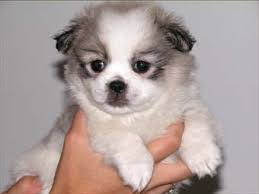 affenpinscher maltese mix peke a tese breed information and pictures on puppyfinder com