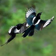 Magpie Birds In Backyards Magpies A Story Of Seven Order Of Bards And Druids