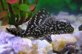 Buy Ornamental Fish 6 Easy Fish Tank Care And Maintenance Tips For Beginners Pethelpful