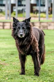 belgian shepherd laekenois rescue the specials the one i couldn u0027t save the daily pip