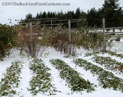 winter protection for strawberries stella otto the backyard
