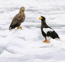 stellers sea eagle wallpapers 31 best eager eagles handsome hawks u0026 faster falcons images on