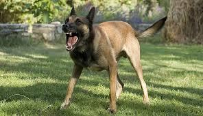 belgian shepherd killed family dogs killed a 3 year old baby in fresno california urdogs