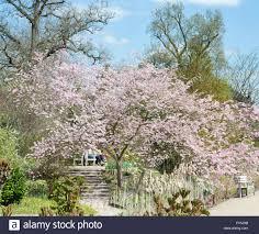 Flowering Cherry Shrub - prunus accolade flowering cherry tree at rhs wisley gardens