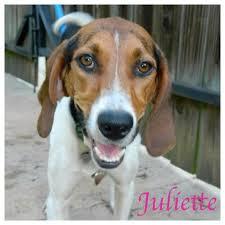 bluetick coonhound rescue georgia meet juliette a petfinder adoptable treeing walker coonhound dog