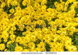 Yellow Flower - yellow flower background stock images royalty free images