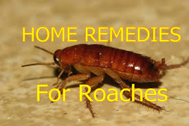 light brown roach looking bug home remedies for roaches in house outside roaches control youtube