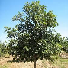 oak trees for sale nature nursery