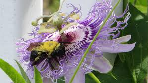 native plants passionflower vine grows passion flower and the bees the green thumb 2 0