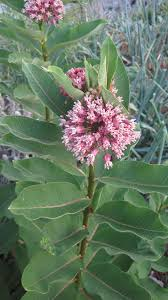 native plants of alaska common milkweed
