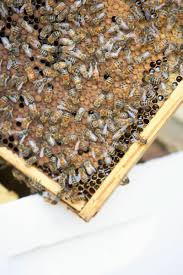 how to raise honeybees