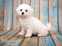 bichon frise breeders near me bichon frise puppies for sale the ultimate powder puff dog