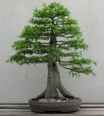 mini bonsai tree home