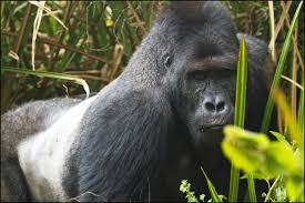 eastern lowland gorilla wikipedia