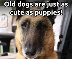Funny German Shepherd Memes - cute german shepherd memes on pinterest german shepherd