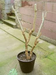 brugmansia care how to grow brugmansia plants in pots