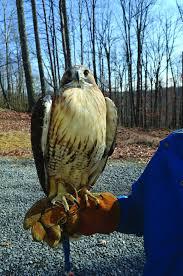 West Virginia birds images Birds of prey fly high at the wv raptor rehabilitation center jpg