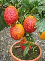 red lime tree best4garden online garden products christmas home