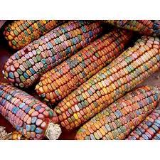 earth tone dent ornamental corn vermont bean