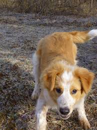 australian shepherd and border collie mix dog training guide border collie aussie mix information