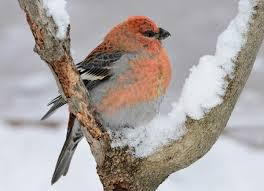 pine grosbeak audubon field guide