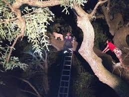 bluetick coonhound climbing tree dog rescued from tree by firefighters dogtime
