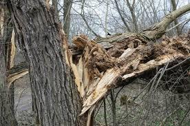 saving a split tree thriftyfun