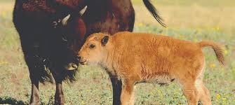 Indiana Wildlife images Wild bison herd in northwest indiana nearly doubled in 2017 jpg
