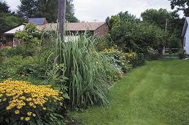 bermuda and ravenna grass the popular turf ornamental species