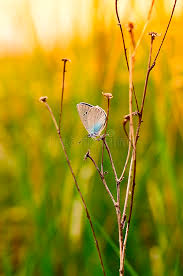 the small blue butterfly on a dead branch in the grass stock photo