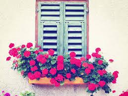 balkon blumen geranien als balkonblumen tipps und pflege