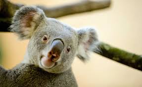 puzzle of koalas u0027 unusually deep voices solved a very special