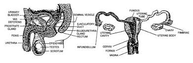The Anatomy Of The Male Reproductive System 77 Jpg